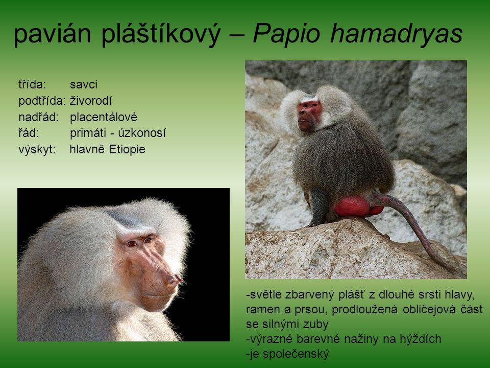 pavián pláštíkový – Papio hamadryas třída: savci podtřída: živorodí nadřád: placentálové řád: primáti - úzkonosí výskyt: hlavně Etiopie -světle zbarvený plášť z dlouhé srsti hlavy, ramen a prsou, prodloužená obličejová část se silnými zuby -výrazné barevné nažiny na hýždích -je společenský