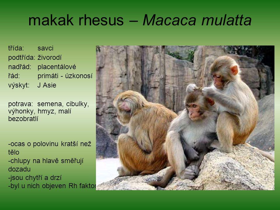 makak rhesus – Macaca mulatta třída: savci podtřída: živorodí nadřád: placentálové řád: primáti - úzkonosí výskyt: J Asie potrava: semena, cibulky, výhonky, hmyz, malí bezobratlí -ocas o polovinu kratší než tělo -chlupy na hlavě směřují dozadu -jsou chytří a drzí -byl u nich objeven Rh faktor