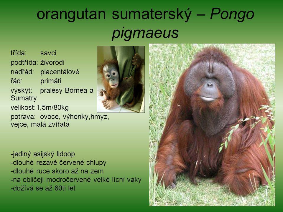 orangutan sumaterský – Pongo pigmaeus třída: savci podtřída: živorodí nadřád: placentálové řád: primáti výskyt: pralesy Bornea a Sumatry velikost:1,5m/80kg potrava: ovoce, výhonky,hmyz, vejce, malá zvířata -jediný asijský lidoop -dlouhé rezavě červené chlupy -dlouhé ruce skoro až na zem -na obličeji modročervené velké lícní vaky -dožívá se až 60ti let