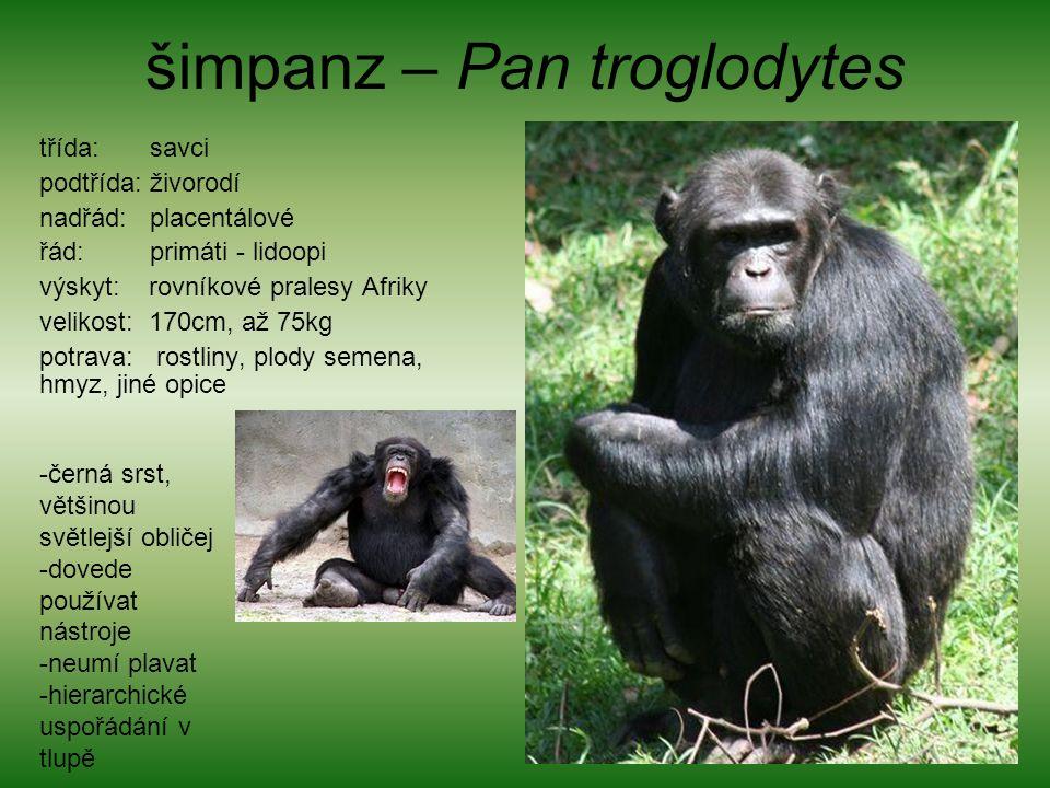 šimpanz – Pan troglodytes třída: savci podtřída: živorodí nadřád: placentálové řád: primáti - lidoopi výskyt: rovníkové pralesy Afriky velikost: 170cm, až 75kg potrava: rostliny, plody semena, hmyz, jiné opice -černá srst, většinou světlejší obličej -dovede používat nástroje -neumí plavat -hierarchické uspořádání v tlupě