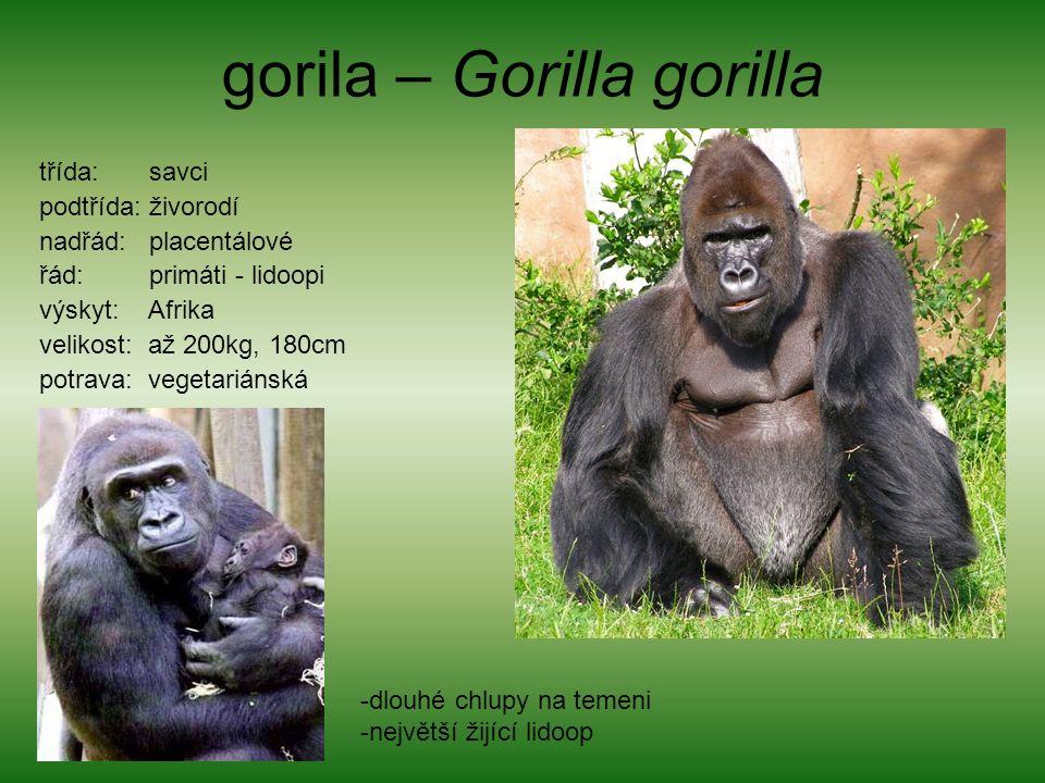 gorila – Gorilla gorilla třída: savci podtřída: živorodí nadřád: placentálové řád: primáti - lidoopi výskyt: Afrika velikost: až 200kg, 180cm potrava: vegetariánská -dlouhé chlupy na temeni -největší žijící lidoop