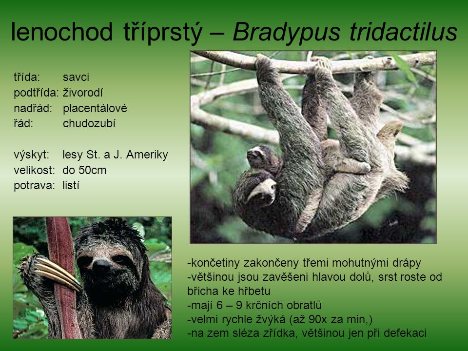 lenochod tříprstý – Bradypus tridactilus třída: savci podtřída: živorodí nadřád: placentálové řád: chudozubí výskyt: lesy St.
