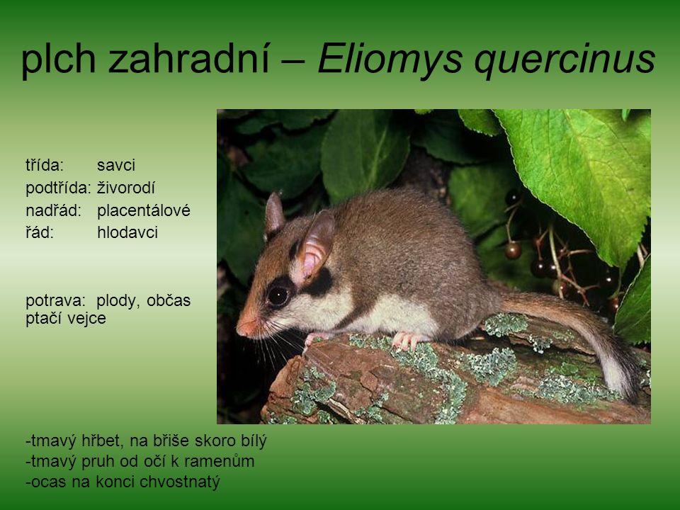 plch zahradní – Eliomys quercinus třída: savci podtřída: živorodí nadřád: placentálové řád: hlodavci potrava: plody, občas ptačí vejce -tmavý hřbet, na břiše skoro bílý -tmavý pruh od očí k ramenům -ocas na konci chvostnatý