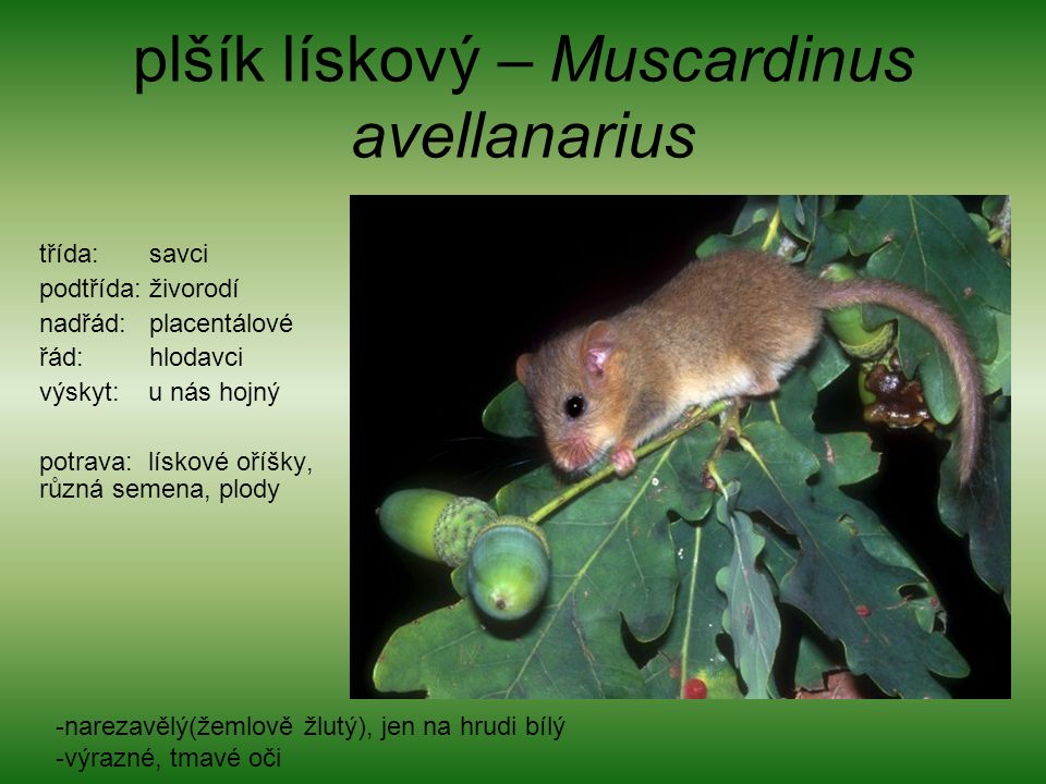 plšík lískový – Muscardinus avellanarius třída: savci podtřída: živorodí nadřád: placentálové řád: hlodavci výskyt: u nás hojný potrava: lískové oříšky, různá semena, plody -narezavělý(žemlově žlutý), jen na hrudi bílý -výrazné, tmavé oči
