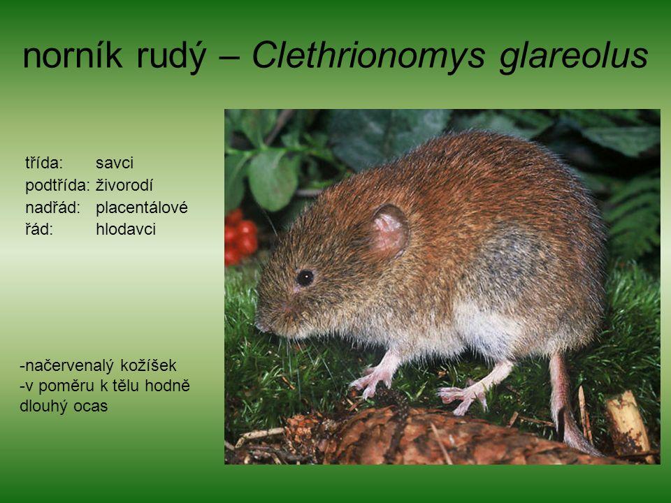 norník rudý – Clethrionomys glareolus třída: savci podtřída: živorodí nadřád: placentálové řád: hlodavci -načervenalý kožíšek -v poměru k tělu hodně dlouhý ocas