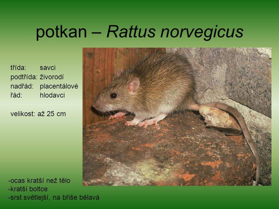 potkan – Rattus norvegicus třída: savci podtřída: živorodí nadřád: placentálové řád: hlodavci velikost: až 25 cm -ocas kratší než tělo -kratší boltce -srst světlejší, na břiše bělavá