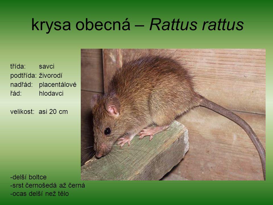 krysa obecná – Rattus rattus třída: savci podtřída: živorodí nadřád: placentálové řád: hlodavci velikost: asi 20 cm -delší boltce -srst černošedá až černá -ocas delší než tělo
