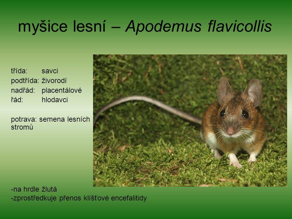 myšice lesní – Apodemus flavicollis třída: savci podtřída: živorodí nadřád: placentálové řád: hlodavci potrava: semena lesních stromů -na hrdle žlutá -zprostředkuje přenos klíšťové encefalitidy