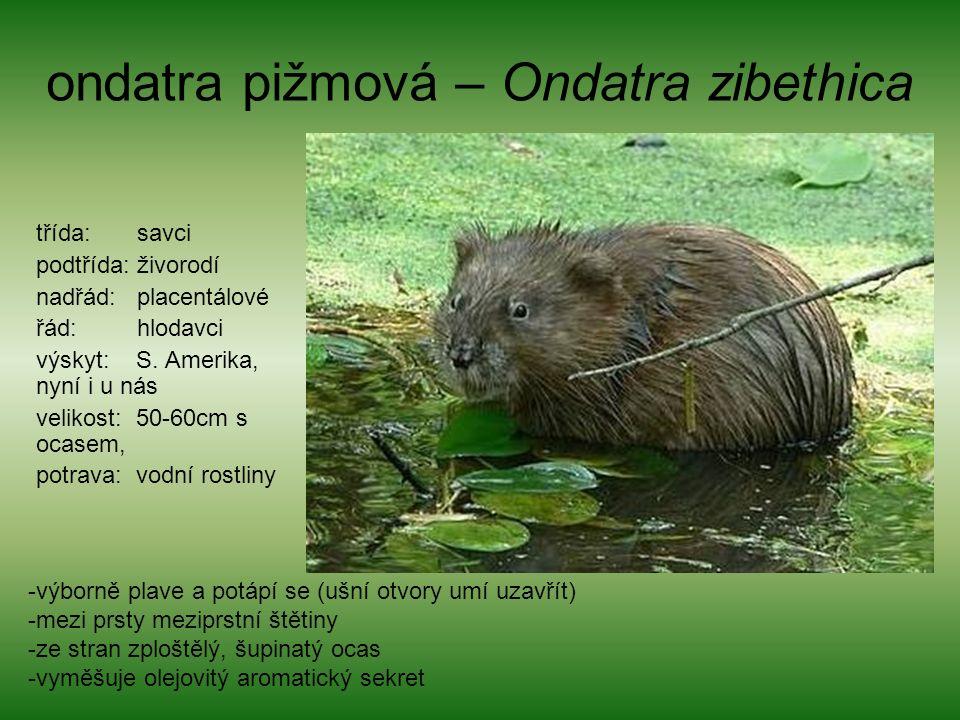 ondatra pižmová – Ondatra zibethica třída: savci podtřída: živorodí nadřád: placentálové řád: hlodavci výskyt: S.