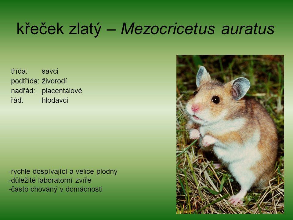 křeček zlatý – Mezocricetus auratus třída: savci podtřída: živorodí nadřád: placentálové řád: hlodavci -rychle dospívající a velice plodný -důležité laboratorní zvíře -často chovaný v domácnosti
