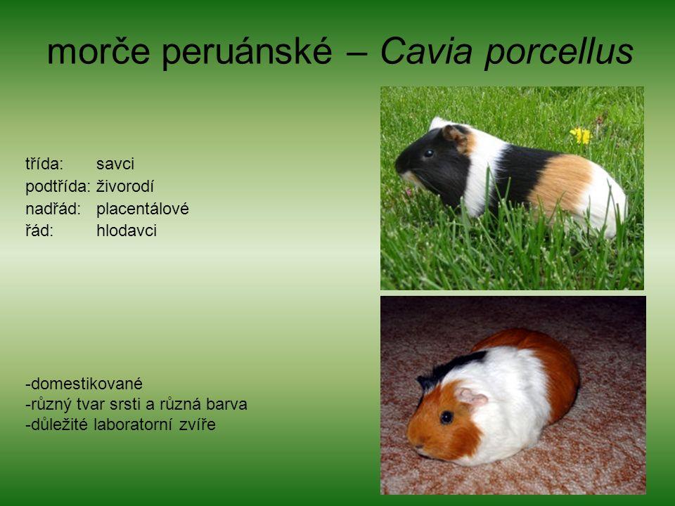 morče peruánské – Cavia porcellus třída: savci podtřída: živorodí nadřád: placentálové řád: hlodavci -domestikované -různý tvar srsti a různá barva -důležité laboratorní zvíře