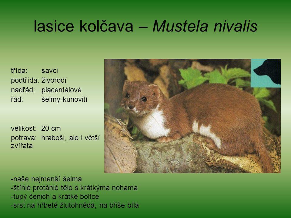 lasice kolčava – Mustela nivalis třída: savci podtřída: živorodí nadřád: placentálové řád: šelmy-kunovití velikost: 20 cm potrava: hraboši, ale i větší zvířata -naše nejmenší šelma -štíhlé protáhlé tělo s krátkýma nohama -tupý čenich a krátké boltce -srst na hřbetě žlutohnědá, na břiše bílá