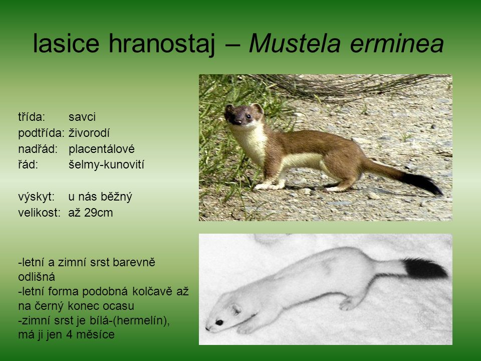 lasice hranostaj – Mustela erminea třída: savci podtřída: živorodí nadřád: placentálové řád: šelmy-kunovití výskyt: u nás běžný velikost: až 29cm -letní a zimní srst barevně odlišná -letní forma podobná kolčavě až na černý konec ocasu -zimní srst je bílá-(hermelín), má ji jen 4 měsíce