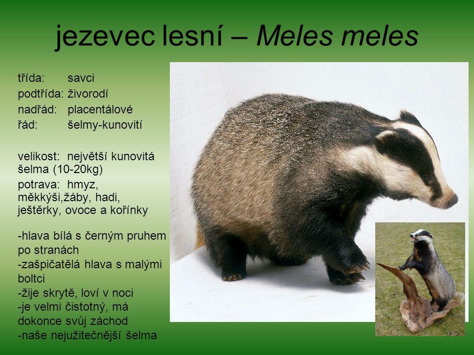 jezevec lesní – Meles meles třída: savci podtřída: živorodí nadřád: placentálové řád: šelmy-kunovití velikost: největší kunovitá šelma (10-20kg) potrava: hmyz, měkkýši,žáby, hadi, ještěrky, ovoce a kořínky -hlava bílá s černým pruhem po stranách -zašpičatělá hlava s malými boltci -žije skrytě, loví v noci -je velmi čistotný, má dokonce svůj záchod -naše nejužitečnější šelma