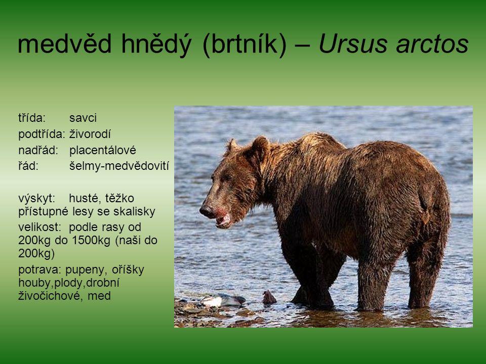 medvěd hnědý (brtník) – Ursus arctos třída: savci podtřída: živorodí nadřád: placentálové řád: šelmy-medvědovití výskyt: husté, těžko přístupné lesy se skalisky velikost: podle rasy od 200kg do 1500kg (naši do 200kg) potrava: pupeny, oříšky houby,plody,drobní živočichové, med