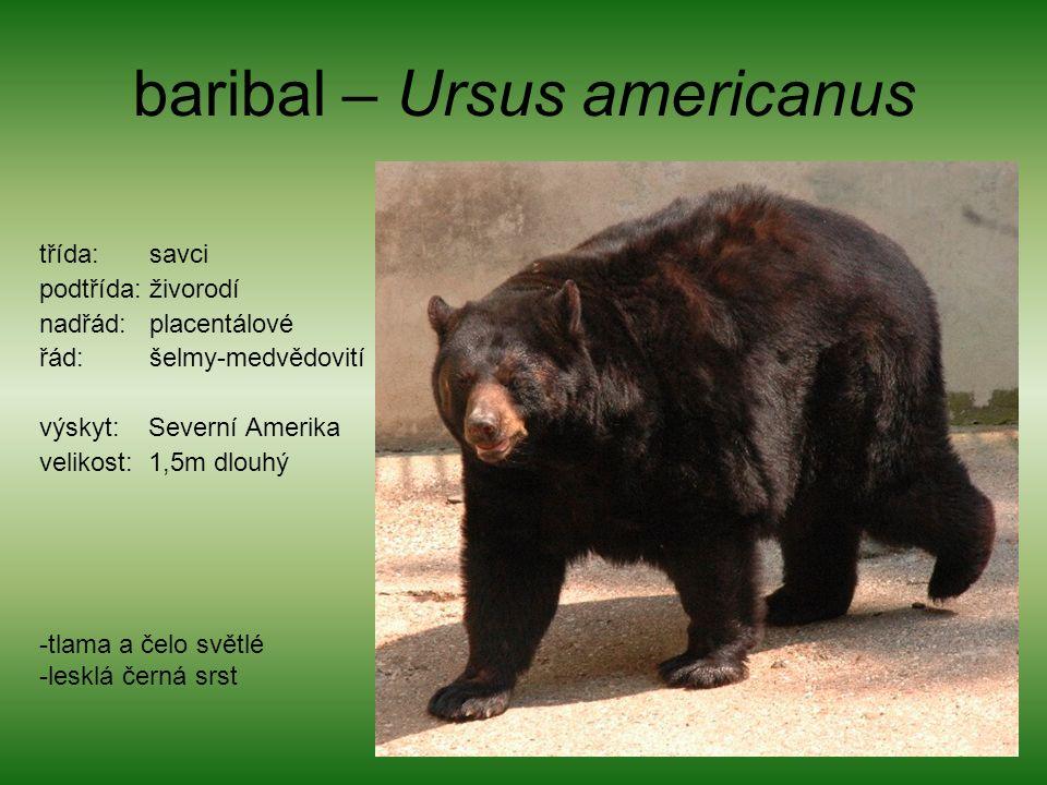 baribal – Ursus americanus třída: savci podtřída: živorodí nadřád: placentálové řád: šelmy-medvědovití výskyt: Severní Amerika velikost: 1,5m dlouhý -tlama a čelo světlé -lesklá černá srst