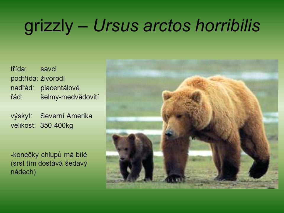 grizzly – Ursus arctos horribilis třída: savci podtřída: živorodí nadřád: placentálové řád: šelmy-medvědovití výskyt: Severní Amerika velikost: 350-400kg -konečky chlupů má bílé (srst tím dostává šedavý nádech)