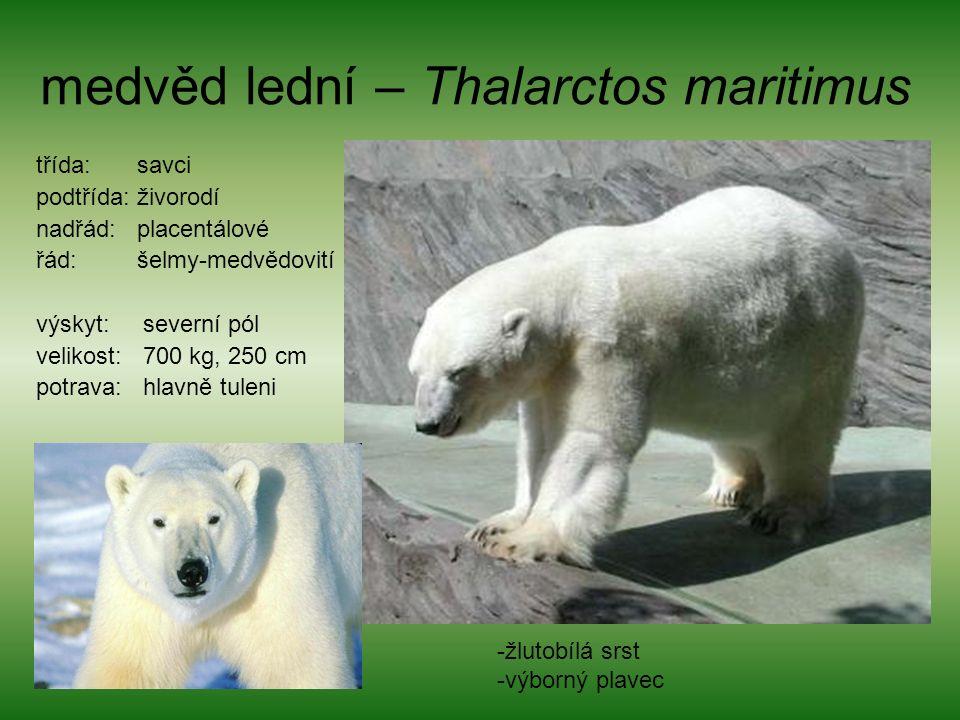 medvěd lední – Thalarctos maritimus třída: savci podtřída: živorodí nadřád: placentálové řád: šelmy-medvědovití výskyt: severní pól velikost: 700 kg, 250 cm potrava: hlavně tuleni -žlutobílá srst -výborný plavec