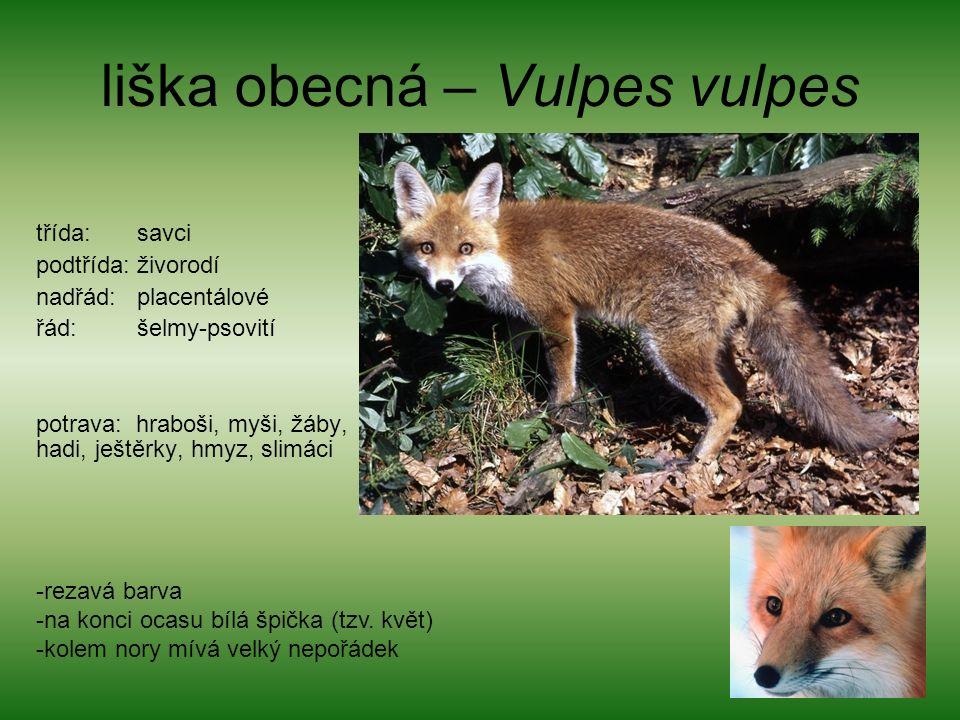 liška obecná – Vulpes vulpes třída: savci podtřída: živorodí nadřád: placentálové řád: šelmy-psovití potrava: hraboši, myši, žáby, hadi, ještěrky, hmyz, slimáci -rezavá barva -na konci ocasu bílá špička (tzv.