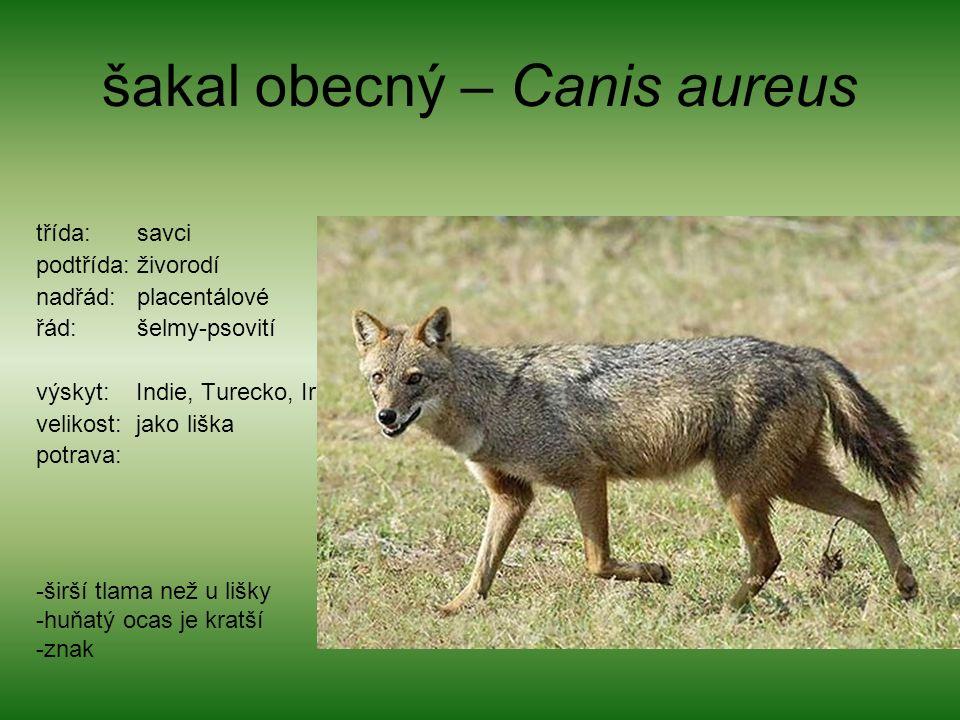 šakal obecný – Canis aureus třída: savci podtřída: živorodí nadřád: placentálové řád: šelmy-psovití výskyt: Indie, Turecko, Irán velikost: jako liška potrava: -širší tlama než u lišky -huňatý ocas je kratší -znak