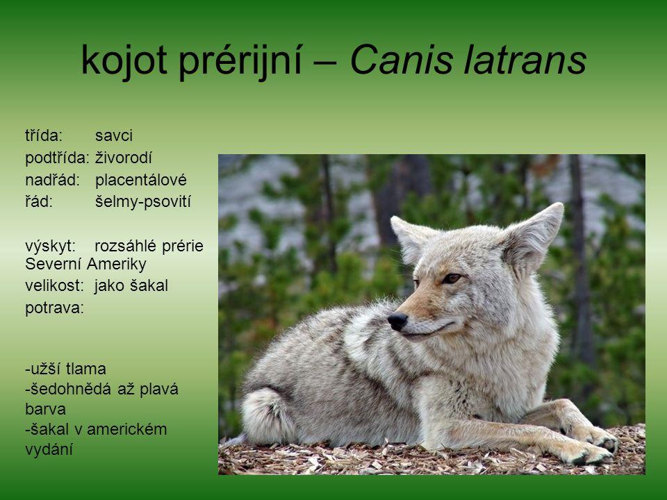kojot prérijní – Canis latrans třída: savci podtřída: živorodí nadřád: placentálové řád: šelmy-psovití výskyt: rozsáhlé prérie Severní Ameriky velikost: jako šakal potrava: -užší tlama -šedohnědá až plavá barva -šakal v americkém vydání