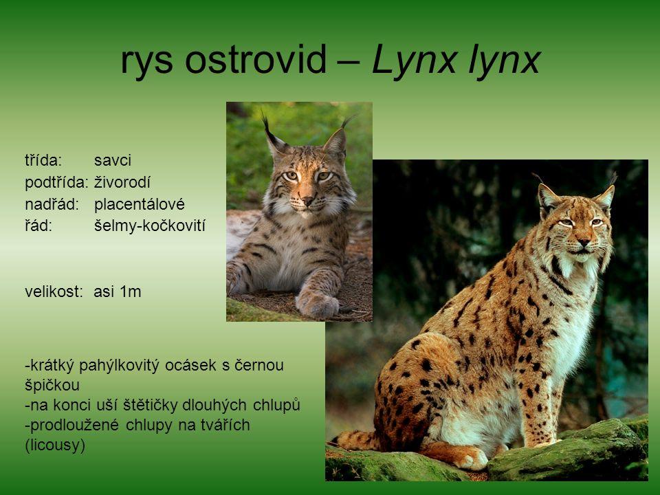 rys ostrovid – Lynx lynx třída: savci podtřída: živorodí nadřád: placentálové řád: šelmy-kočkovití velikost: asi 1m -krátký pahýlkovitý ocásek s černou špičkou -na konci uší štětičky dlouhých chlupů -prodloužené chlupy na tvářích (licousy)
