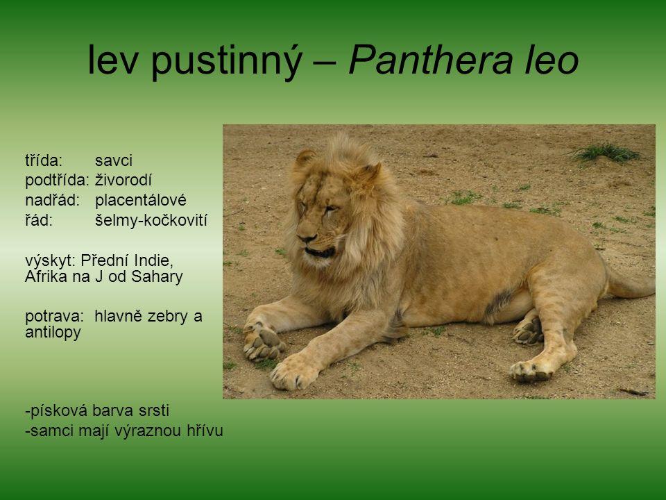 lev pustinný – Panthera leo třída: savci podtřída: živorodí nadřád: placentálové řád: šelmy-kočkovití výskyt: Přední Indie, Afrika na J od Sahary potrava: hlavně zebry a antilopy -písková barva srsti -samci mají výraznou hřívu