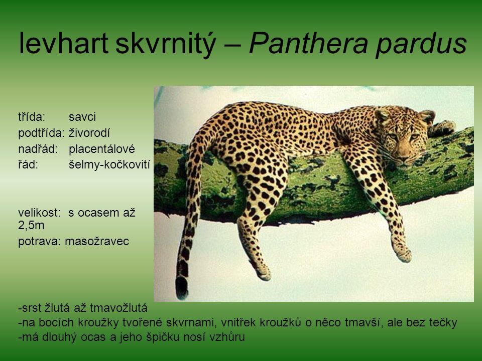 levhart skvrnitý – Panthera pardus třída: savci podtřída: živorodí nadřád: placentálové řád: šelmy-kočkovití velikost: s ocasem až 2,5m potrava: masožravec -srst žlutá až tmavožlutá -na bocích kroužky tvořené skvrnami, vnitřek kroužků o něco tmavší, ale bez tečky -má dlouhý ocas a jeho špičku nosí vzhůru