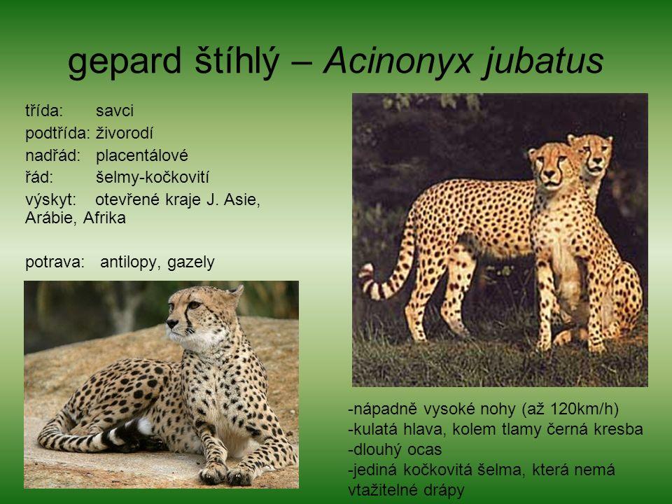 gepard štíhlý – Acinonyx jubatus třída: savci podtřída: živorodí nadřád: placentálové řád: šelmy-kočkovití výskyt: otevřené kraje J.