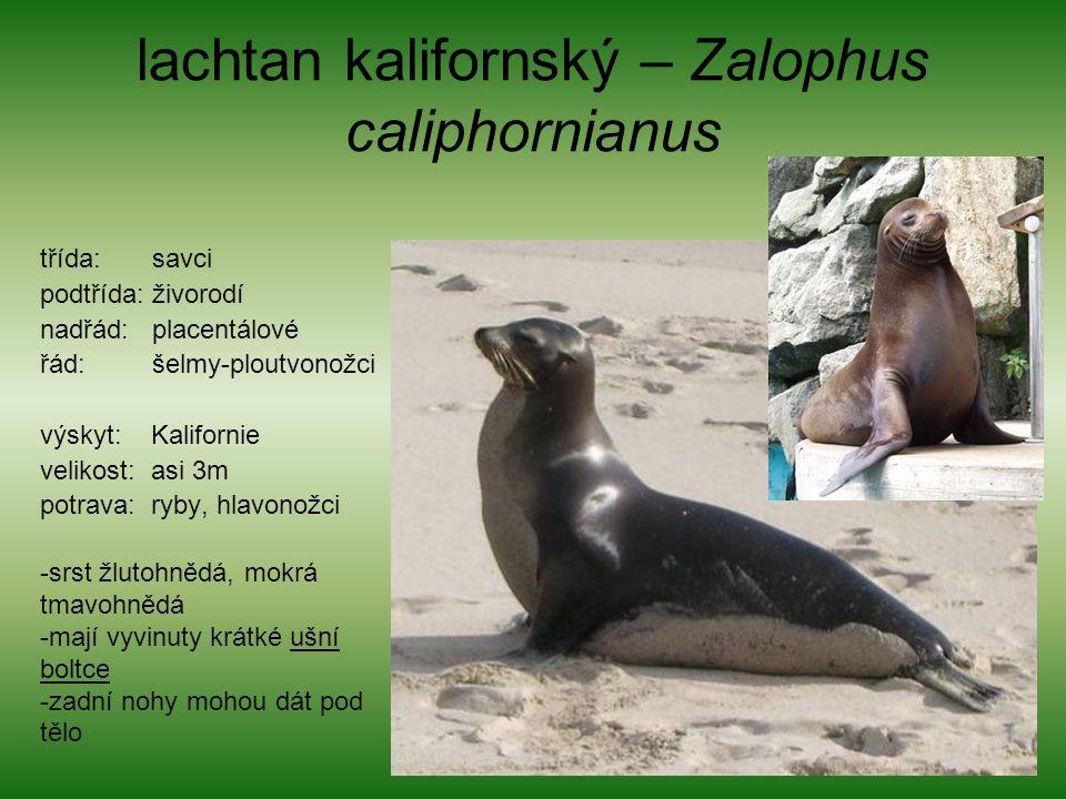 lachtan kalifornský – Zalophus caliphornianus třída: savci podtřída: živorodí nadřád: placentálové řád: šelmy-ploutvonožci výskyt: Kalifornie velikost: asi 3m potrava: ryby, hlavonožci -srst žlutohnědá, mokrá tmavohnědá -mají vyvinuty krátké ušní boltce -zadní nohy mohou dát pod tělo