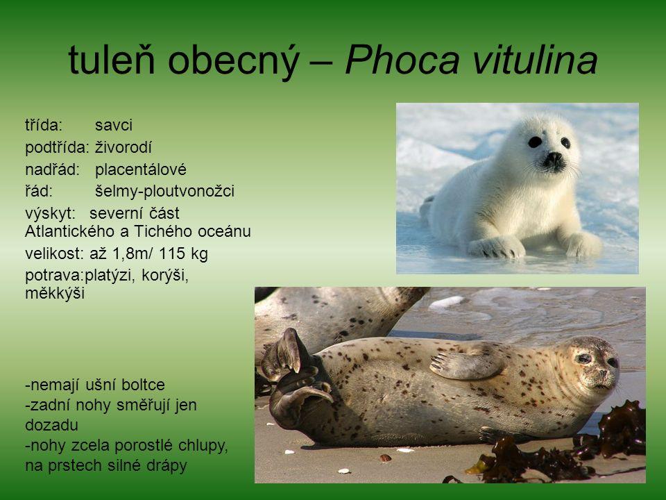 tuleň obecný – Phoca vitulina třída: savci podtřída: živorodí nadřád: placentálové řád: šelmy-ploutvonožci výskyt: severní část Atlantického a Tichého oceánu velikost: až 1,8m/ 115 kg potrava:platýzi, korýši, měkkýši -nemají ušní boltce -zadní nohy směřují jen dozadu -nohy zcela porostlé chlupy, na prstech silné drápy
