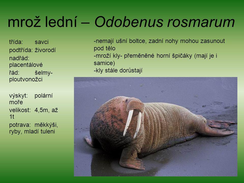 mrož lední – Odobenus rosmarum třída: savci podtřída: živorodí nadřád: placentálové řád: šelmy- ploutvonožci výskyt: polární moře velikost: 4,5m, až 1t potrava: měkkýši, ryby, mladí tuleni -nemají ušní boltce, zadní nohy mohou zasunout pod tělo -mroží kly- přeměněné horní špičáky (mají je i samice) -kly stále dorůstají