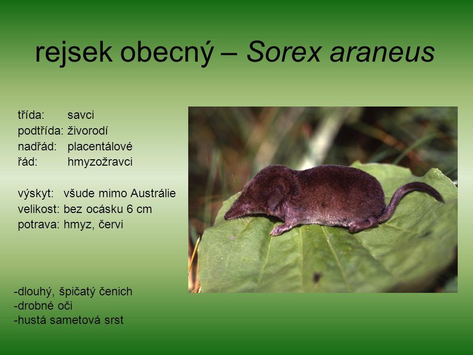 rejsek obecný – Sorex araneus třída: savci podtřída: živorodí nadřád: placentálové řád: hmyzožravci výskyt: všude mimo Austrálie velikost: bez ocásku 6 cm potrava: hmyz, červi -dlouhý, špičatý čenich -drobné oči -hustá sametová srst