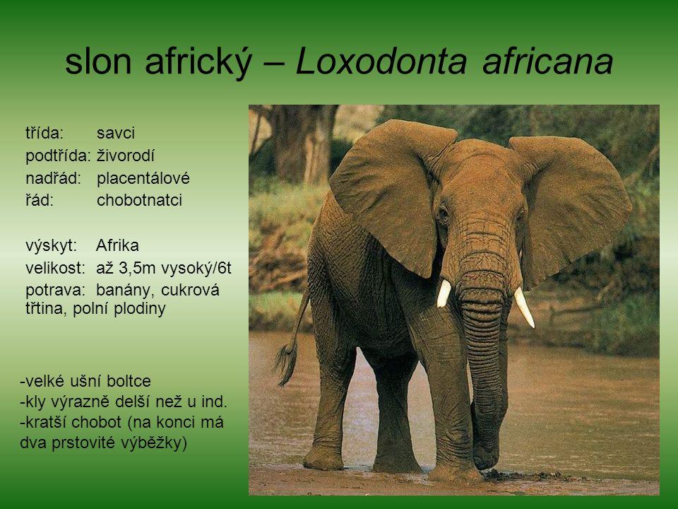 slon africký – Loxodonta africana třída: savci podtřída: živorodí nadřád: placentálové řád: chobotnatci výskyt: Afrika velikost: až 3,5m vysoký/6t potrava: banány, cukrová třtina, polní plodiny -velké ušní boltce -kly výrazně delší než u ind.