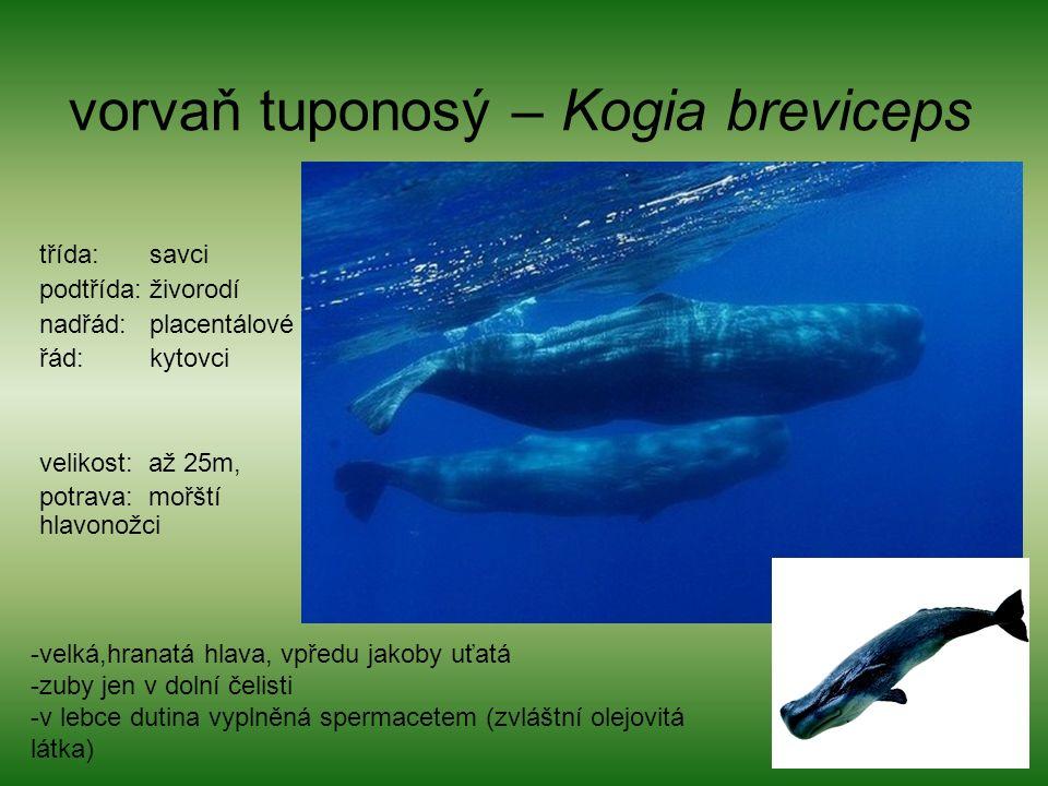 vorvaň tuponosý – Kogia breviceps třída: savci podtřída: živorodí nadřád: placentálové řád: kytovci velikost: až 25m, potrava: mořští hlavonožci -velká,hranatá hlava, vpředu jakoby uťatá -zuby jen v dolní čelisti -v lebce dutina vyplněná spermacetem (zvláštní olejovitá látka)