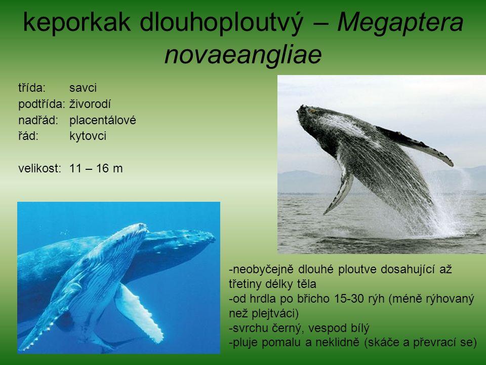 keporkak dlouhoploutvý – Megaptera novaeangliae třída: savci podtřída: živorodí nadřád: placentálové řád: kytovci velikost: 11 – 16 m -neobyčejně dlouhé ploutve dosahující až třetiny délky těla -od hrdla po břicho 15-30 rýh (méně rýhovaný než plejtváci) -svrchu černý, vespod bílý -pluje pomalu a neklidně (skáče a převrací se)