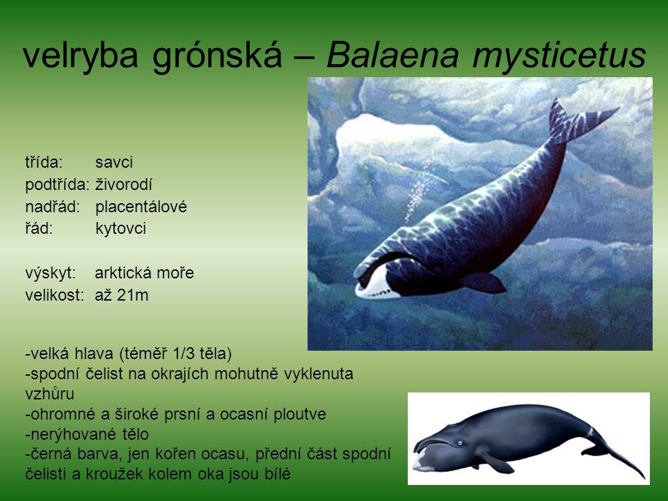 velryba grónská – Balaena mysticetus třída: savci podtřída: živorodí nadřád: placentálové řád: kytovci výskyt: arktická moře velikost: až 21m -velká hlava (téměř 1/3 těla) -spodní čelist na okrajích mohutně vyklenuta vzhůru -ohromné a široké prsní a ocasní ploutve -nerýhované tělo -černá barva, jen kořen ocasu, přední část spodní čelisti a kroužek kolem oka jsou bílé