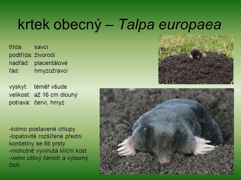krtek obecný – Talpa europaea třída: savci podtřída: živorodí nadřád: placentálové řád: hmyzožravci výskyt: téměř všude velikost: až 16 cm dlouhý potrava: červi, hmyz -kolmo postavené chlupy -lopatovitě rozšířené přední končetiny se 6ti prsty -mohutně vyvinutá klíční kost -velmi citlivý čenich a výborný čich