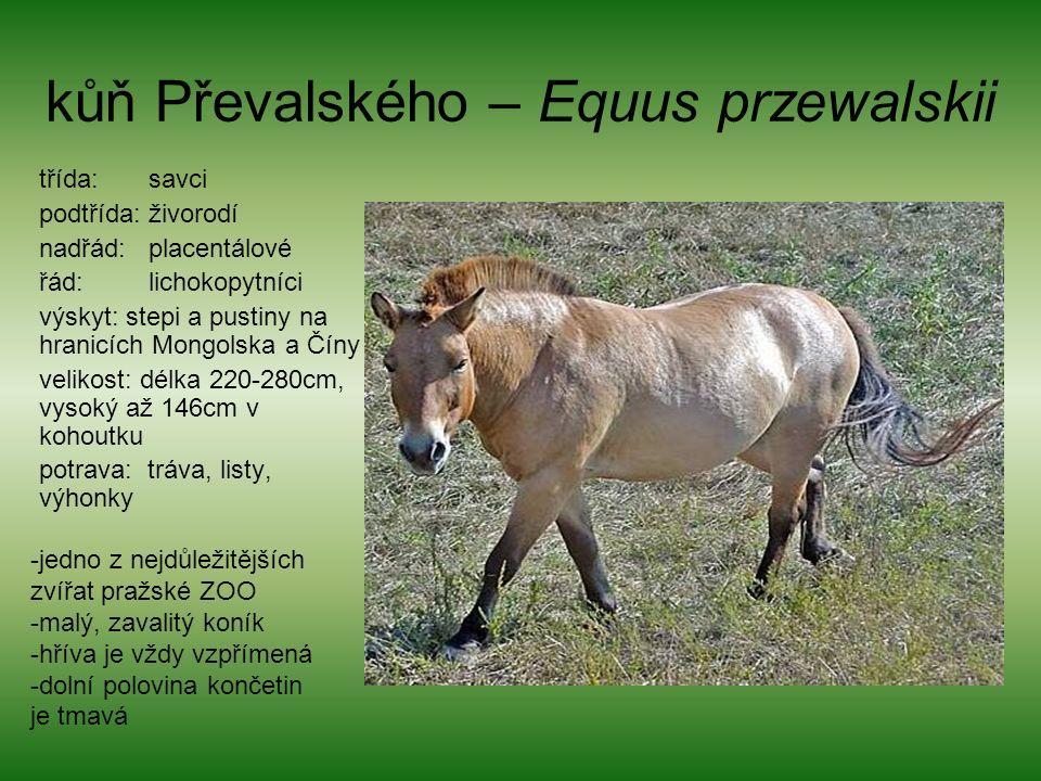 kůň Převalského – Equus przewalskii třída: savci podtřída: živorodí nadřád: placentálové řád: lichokopytníci výskyt: stepi a pustiny na hranicích Mongolska a Číny velikost: délka 220-280cm, vysoký až 146cm v kohoutku potrava: tráva, listy, výhonky -jedno z nejdůležitějších zvířat pražské ZOO -malý, zavalitý koník -hříva je vždy vzpřímená -dolní polovina končetin je tmavá
