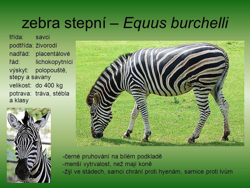 zebra stepní – Equus burchelli třída: savci podtřída: živorodí nadřád: placentálové řád: lichokopytníci výskyt: polopouště, stepy a savany velikost: do 400 kg potrava: tráva, stébla a klasy -černé pruhování na bílém podkladě -menší vytrvalost, než mají koně -žijí ve stádech, samci chrání proti hyenám, samice proti lvům