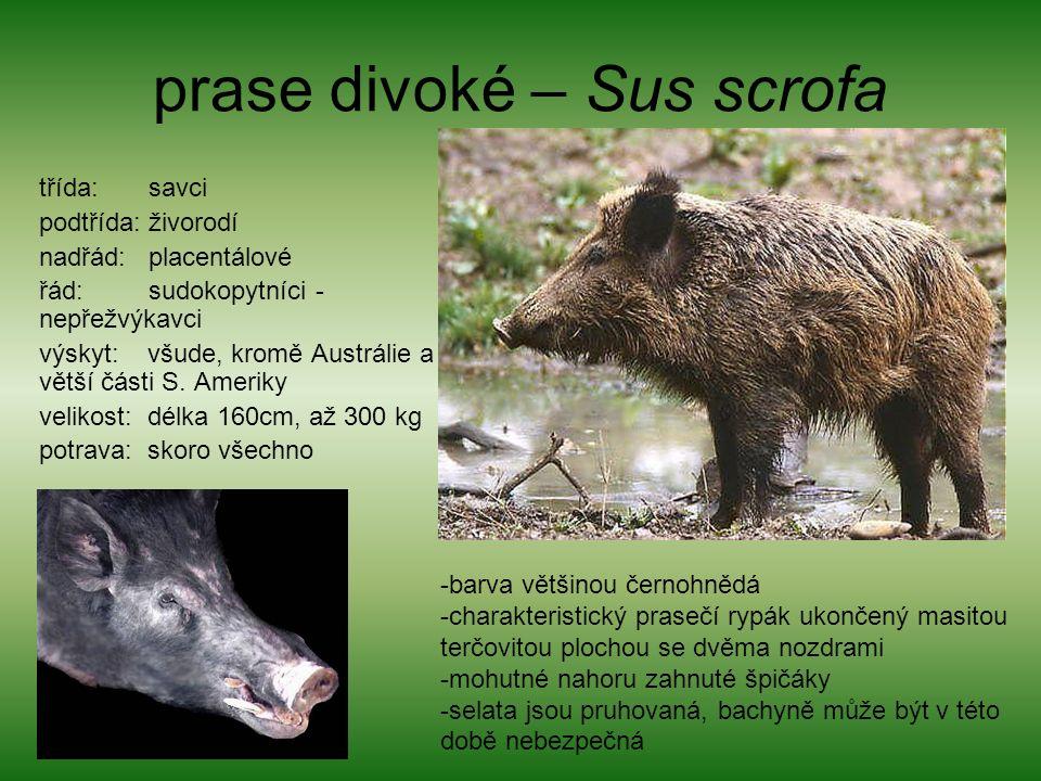 prase divoké – Sus scrofa třída: savci podtřída: živorodí nadřád: placentálové řád: sudokopytníci - nepřežvýkavci výskyt: všude, kromě Austrálie a větší části S.
