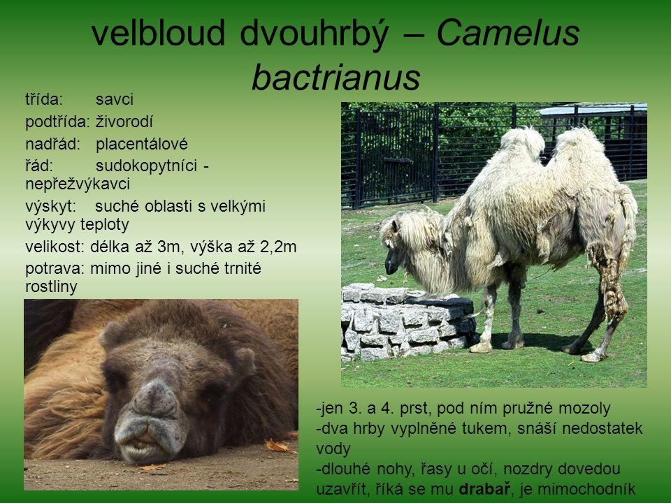 velbloud dvouhrbý – Camelus bactrianus třída: savci podtřída: živorodí nadřád: placentálové řád: sudokopytníci - nepřežvýkavci výskyt: suché oblasti s velkými výkyvy teploty velikost: délka až 3m, výška až 2,2m potrava: mimo jiné i suché trnité rostliny -jen 3.