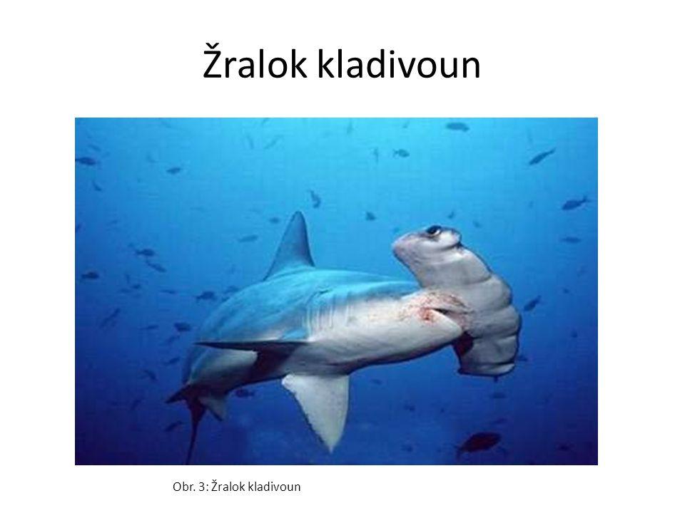 Žralok kladivoun Obr. 3: Žralok kladivoun