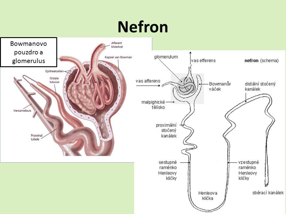 Nefron Bowmanovo pouzdro a glomerulus
