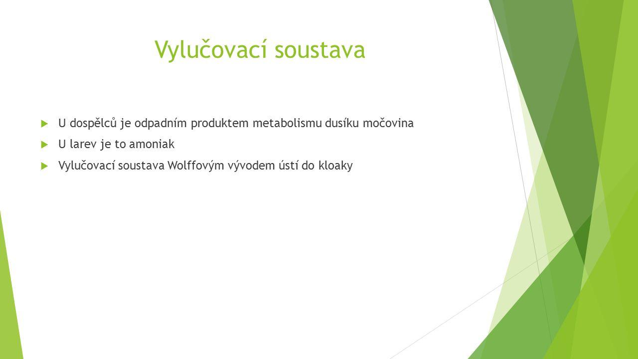 Vylučovací soustava  U dospělců je odpadním produktem metabolismu dusíku močovina  U larev je to amoniak  Vylučovací soustava Wolffovým vývodem ústí do kloaky