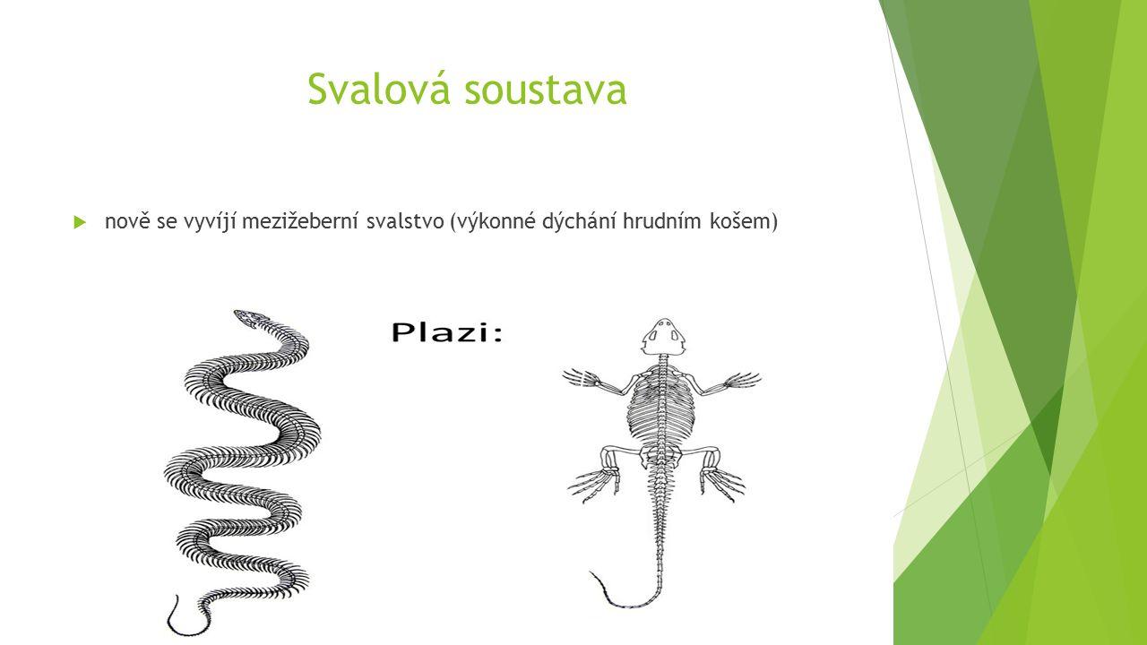 Svalová soustava  nově se vyvíjí mezižeberní svalstvo (výkonné dýchání hrudním košem)
