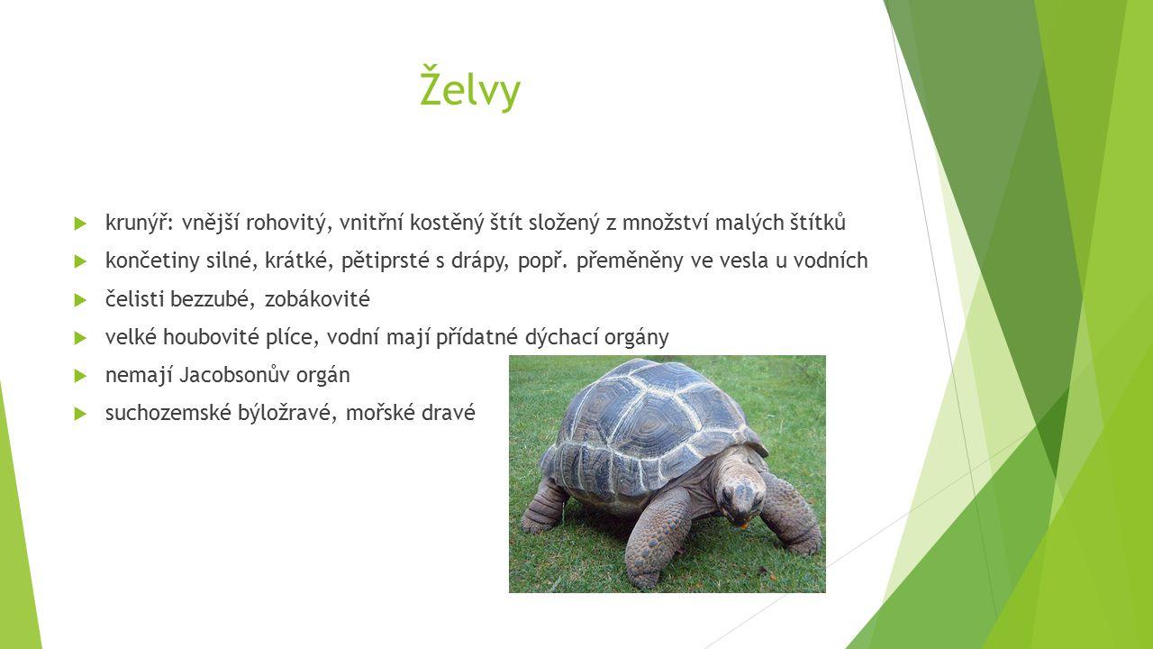 Želvy  krunýř: vnější rohovitý, vnitřní kostěný štít složený z množství malých štítků  končetiny silné, krátké, pětiprsté s drápy, popř.