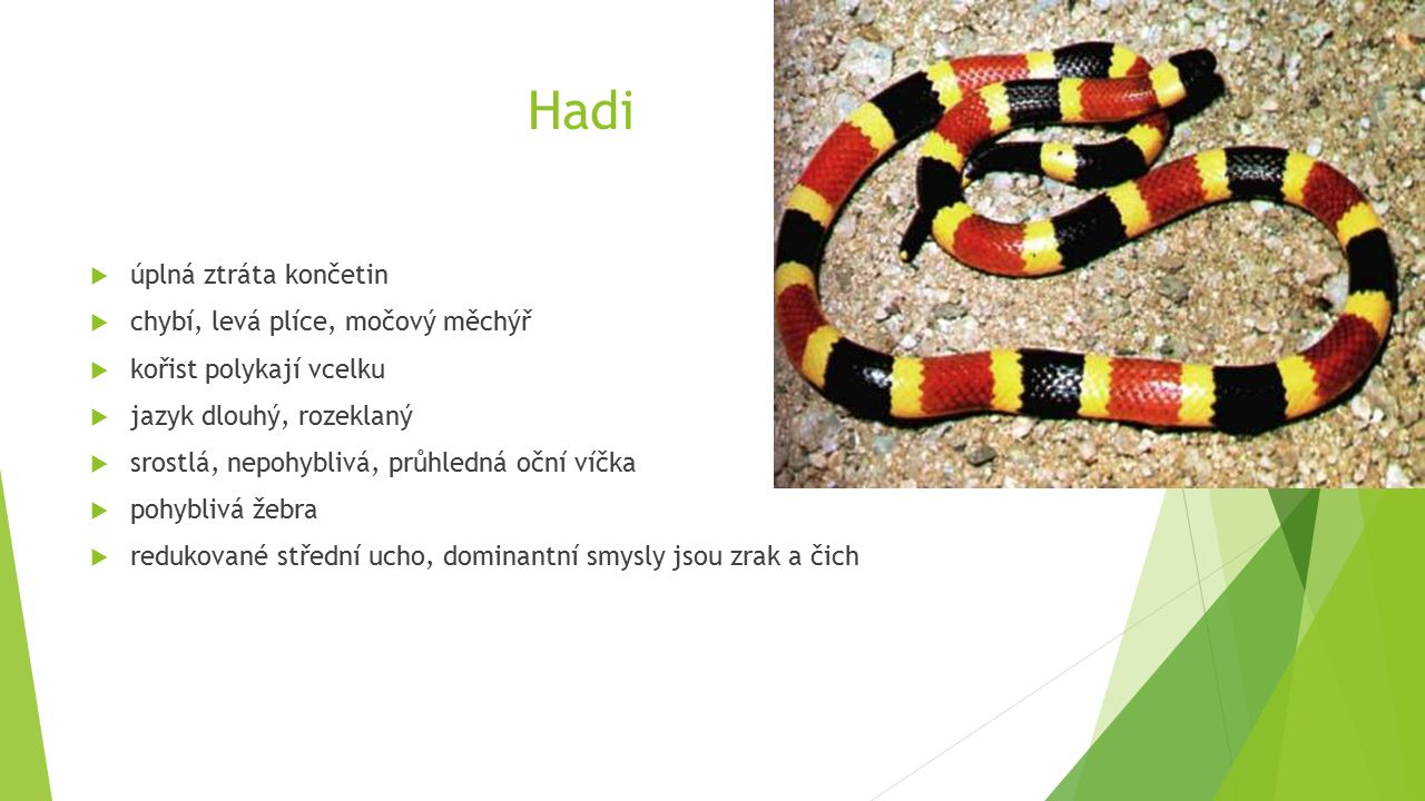 Hadi  úplná ztráta končetin  chybí, levá plíce, močový měchýř  kořist polykají vcelku  jazyk dlouhý, rozeklaný  srostlá, nepohyblivá, průhledná oční víčka  pohyblivá žebra  redukované střední ucho, dominantní smysly jsou zrak a čich