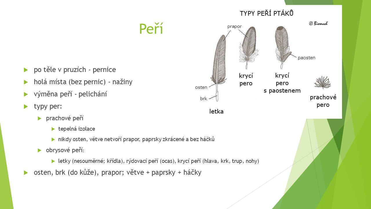 Peří  po těle v pruzích - pernice  holá místa (bez pernic) - nažiny  výměna peří - pelichání  typy per:  prachové peří  tepelná izolace  nikdy osten, větve netvoří prapor, paprsky zkrácené a bez háčků  obrysové peří :  letky (nesouměrné; křídla), rýdovací peří (ocas), krycí peří (hlava, krk, trup, nohy)  osten, brk (do kůže), prapor; větve + paprsky + háčky