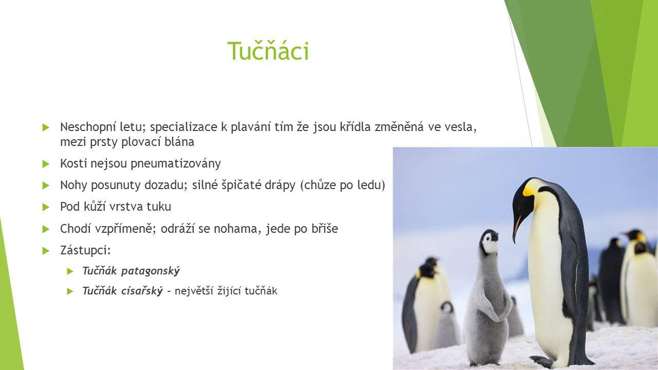 Tučňáci  Neschopní letu; specializace k plavání tím že jsou křídla změněná ve vesla, mezi prsty plovací blána  Kosti nejsou pneumatizovány  Nohy posunuty dozadu; silné špičaté drápy (chůze po ledu)  Pod kůží vrstva tuku  Chodí vzpřímeně; odráží se nohama, jede po břiše  Zástupci:  Tučňák patagonský  Tučňák císařský - největší žijící tučňák